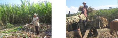 sugar-harvest