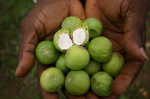Shea Nuts-